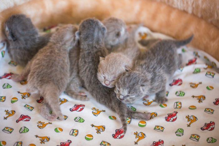 Развитие котенка в первые 2 недели