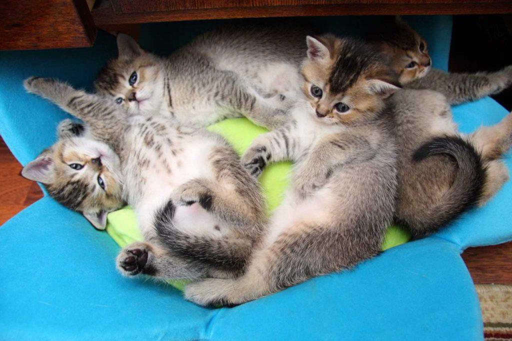 Развитие котенка на 5-6 неделе
